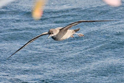Short-tailed Shearwater Picture @ Kiwifoto.com