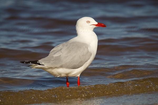 Silver Gull @ Broadwater Parklands, Queensland, Australia