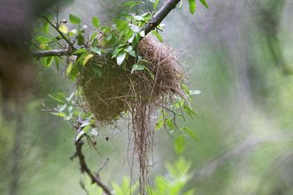 Sinaloa Wren Nest