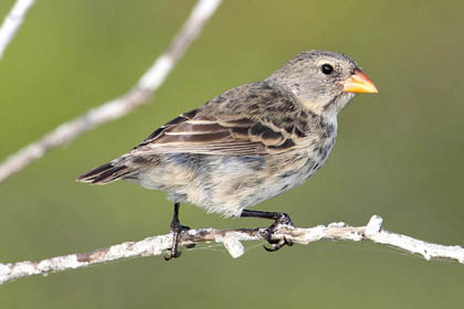 Small Ground-finch Picture @ Kiwifoto.com