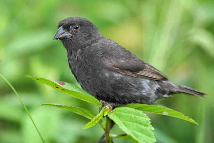 Small Ground-finch Image @ Kiwifoto.com