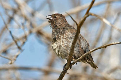 Small Ground-finch Photo @ Kiwifoto.com