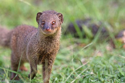Small Indian Mongoose Picture @ Kiwifoto.com