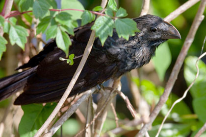 Smooth-billed Ani Image @ Kiwifoto.com