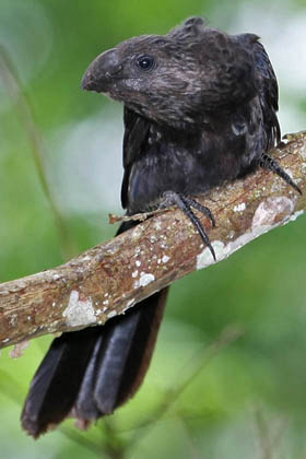 Smooth-billed Ani Picture @ Kiwifoto.com
