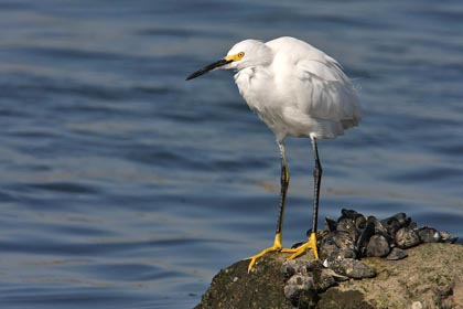 Snowy Egret Photo @ Kiwifoto.com