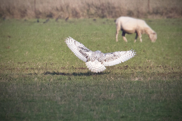Snowy Owl Photo @ Kiwifoto.com