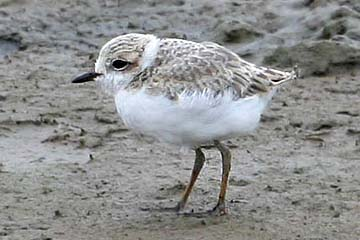 Snowy Plover2a