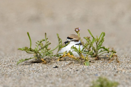 Snowy Plover (roosting in Searocket)