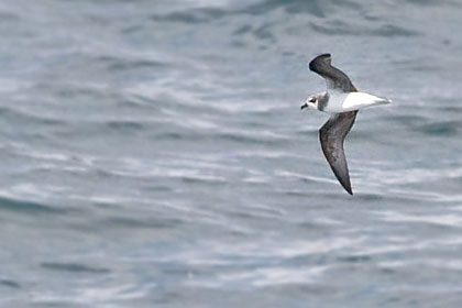 Soft-plumaged Petrel Photo @ Kiwifoto.com