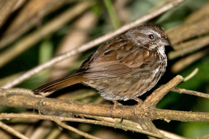 Song Sparrow (M.m. morphna)