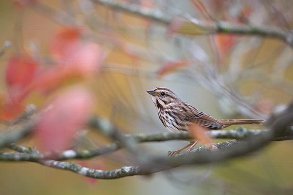 Song Sparrow @ Asheville, NC