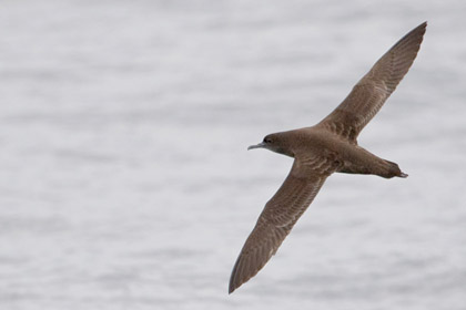 Sooty Shearwater Photo @ Kiwifoto.com