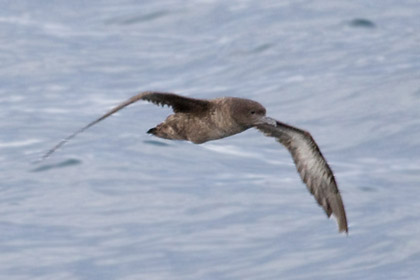Sooty Shearwater Picture @ Kiwifoto.com