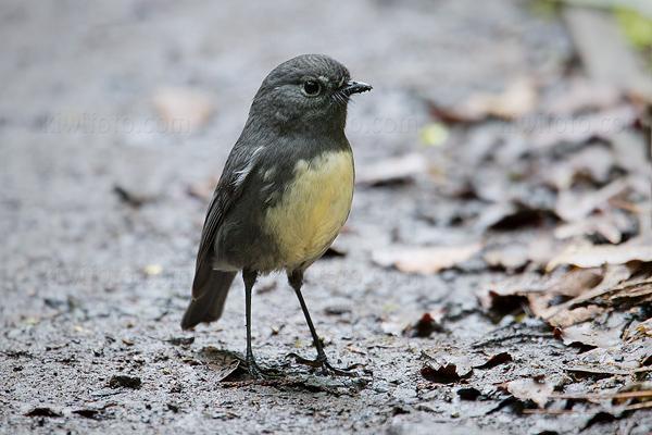 South Island Robin P. australis rakiura @ Stewart Island, South New Zealand