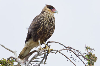 Southern Crested Caracara Picture @ Kiwifoto.com