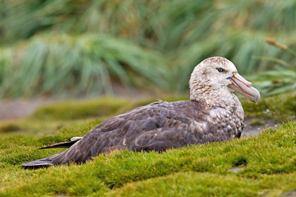 Southern Giant-petrel Photo @ Kiwifoto.com