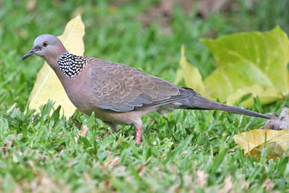 Spotted Dove Picture @ Kiwifoto.com