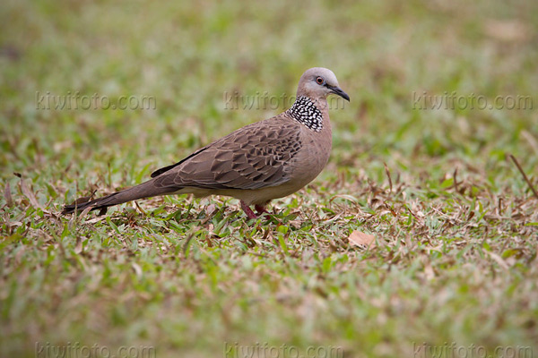 Spotted Dove Photo @ Kiwifoto.com