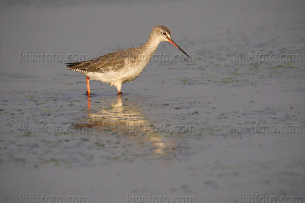 Spotted Redshank Picture @ Kiwifoto.com