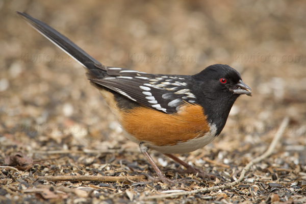 Spotted Towhee Picture @ Kiwifoto.com