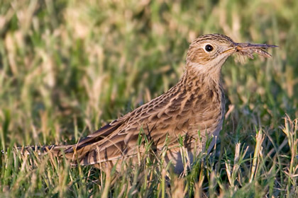 Sprague's Pipit Photo @ Kiwifoto.com