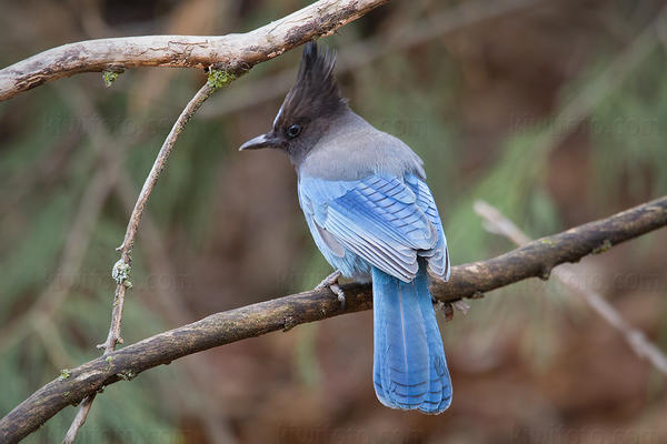 Steller's Jay Photo @ Kiwifoto.com