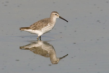 Stilt Sandpiper Photo @ Kiwifoto.com