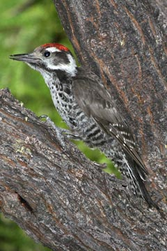 Strickland's Woodpecker Picture @ Kiwifoto.com