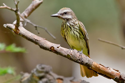 Sulphur-bellied Flycatcher Photo @ Kiwifoto.com