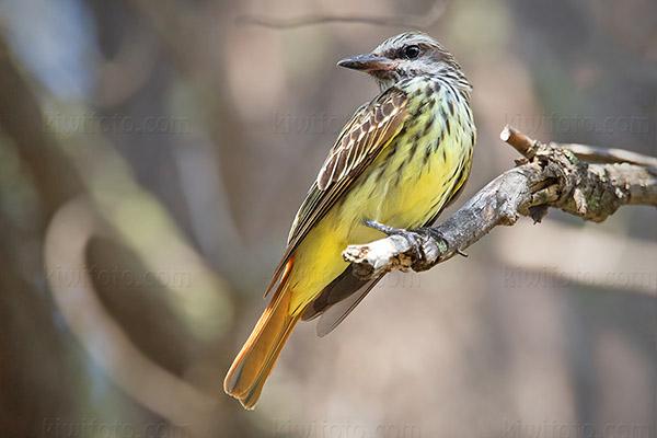 Sulphur-bellied Flycatcher @ South Fork (Chiricahua Mtns), AZ