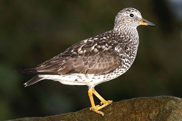 Surfbird Photo @ Kiwifoto.com