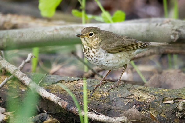 Swainson's Thrush @ Maumee Bay State Park, OH
