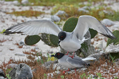 Swallow-tailed Gull Photo @ Kiwifoto.com