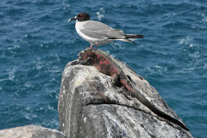 Swallow-tailed Gull Image @ Kiwifoto.com