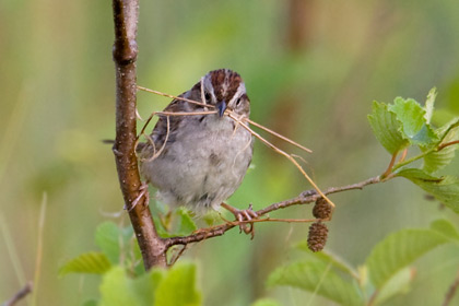 Swamp Sparrow Photo @ Kiwifoto.com