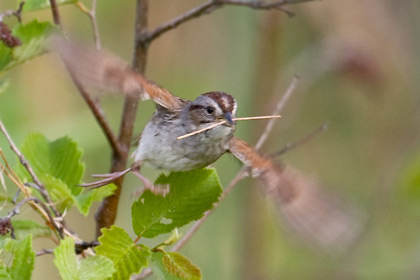 Swamp Sparrow Picture @ Kiwifoto.com
