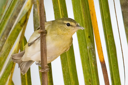 Tennessee Warbler Picture @ Kiwifoto.com