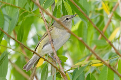 Tennessee Warbler Photo @ Kiwifoto.com