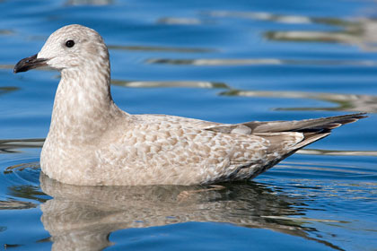 Thayer's Gull (1st year)