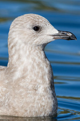 Thayer's Gull Photo @ Kiwifoto.com