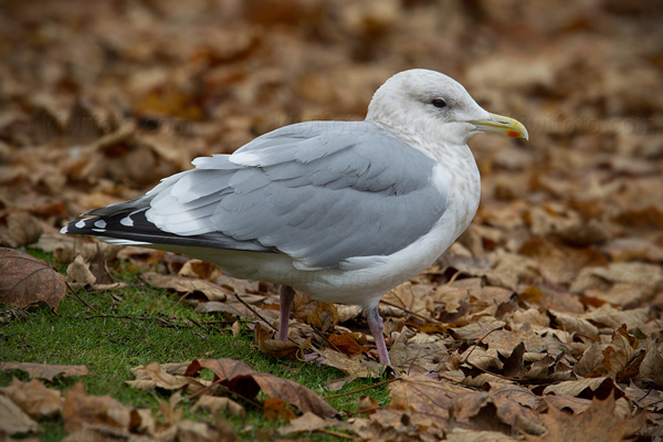Thayer's Gull Picture @ Kiwifoto.com
