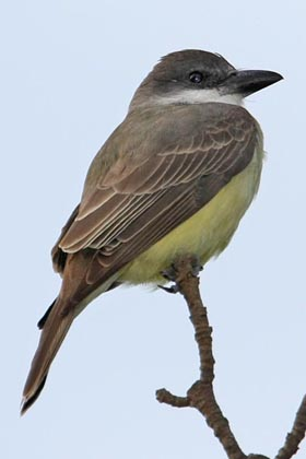 Thick-billed Kingbird Picture @ Kiwifoto.com