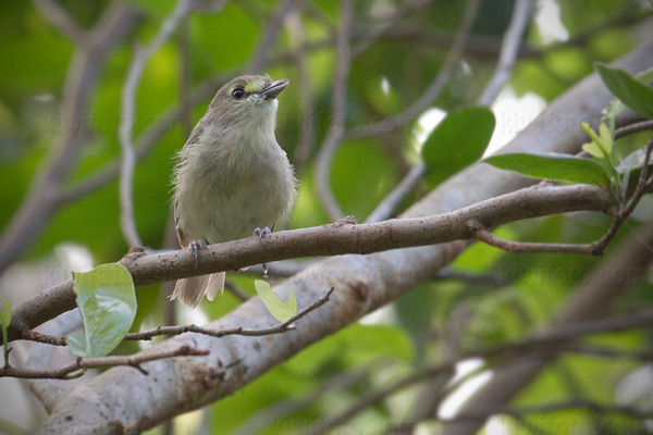 Thick-billed Vireo Photo @ Kiwifoto.com