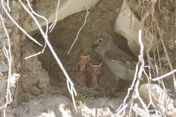Townsend's Solitaire (with chicks)