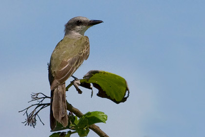 Tropical Kingbird Photo @ Kiwifoto.com