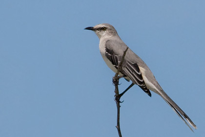 Tropical Mockingbird Picture @ Kiwifoto.com