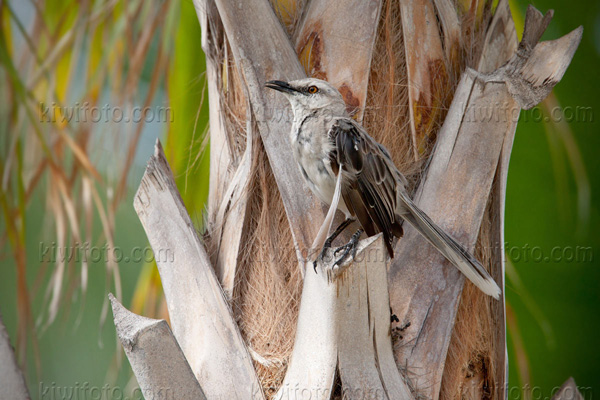Tropical Mockingbird Image @ Kiwifoto.com