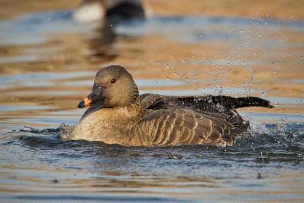 Tundra Bean-Goose Photo @ Kiwifoto.com
