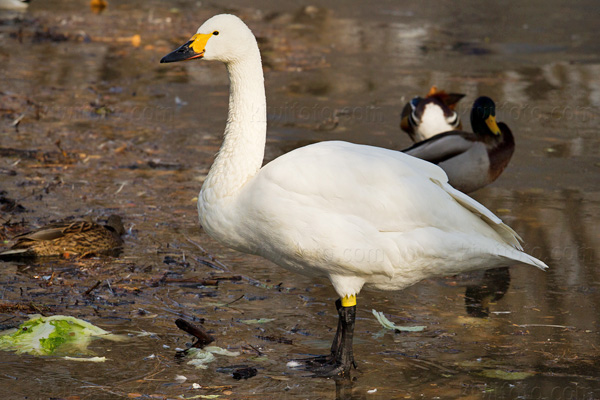 Tundra Swan Photo @ Kiwifoto.com